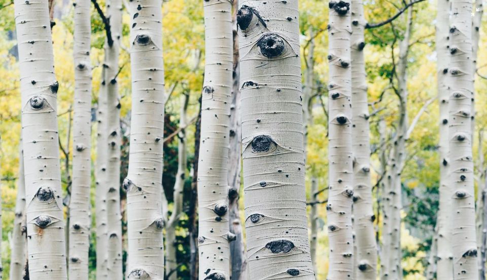 birch trees by robert macfarland photography